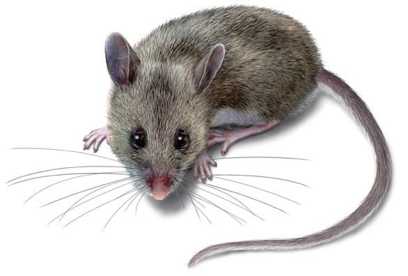 công ty diệt chuột hiệu quả ở Bình Dương