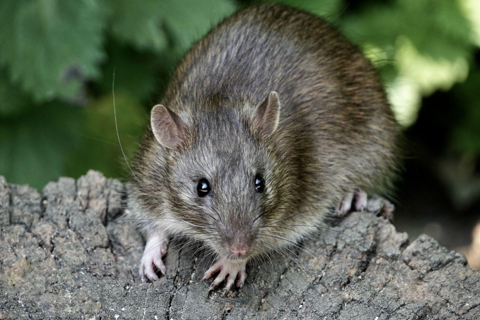 dịch vụ diệt chuột Long Thành