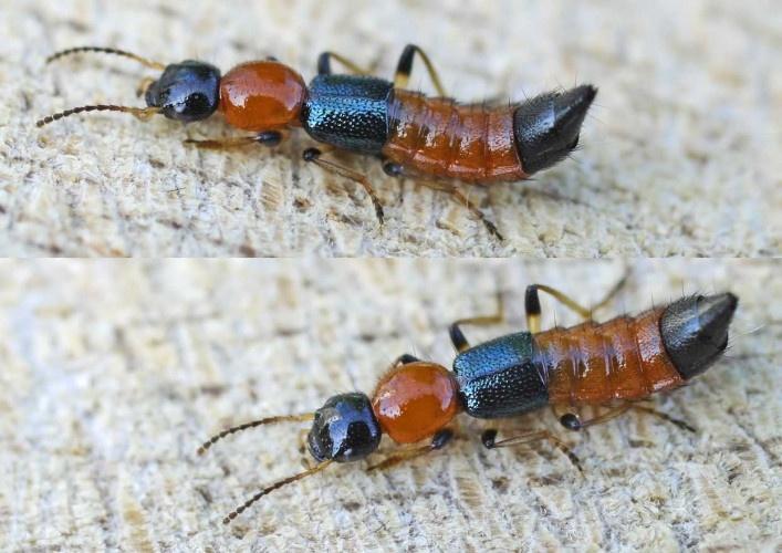 diệt kiến ba khoang trong nhà ở Bình Dương
